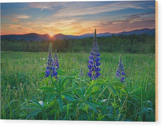 Lupine Sunrise Wood Print