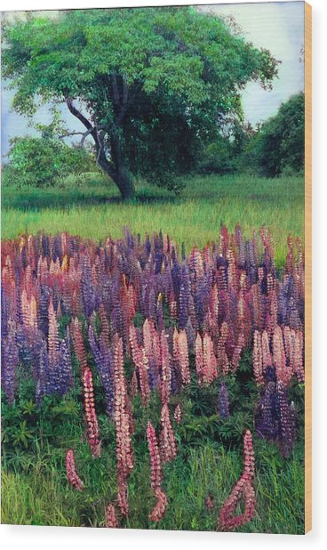 Lupines Midcoast Maine Wood Print