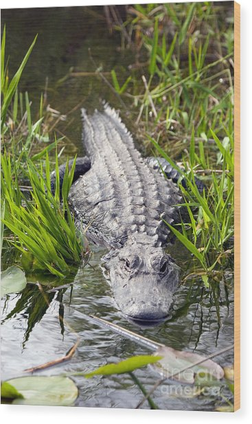 Lurking Alligator Wood Print