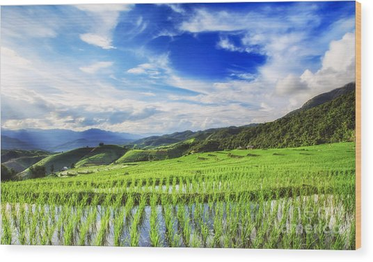 Lush Green Rice Field  Wood Print