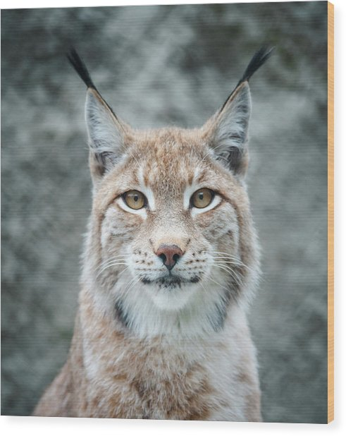 Lynx Portrait Wood Print by Photographs By Maria Itina