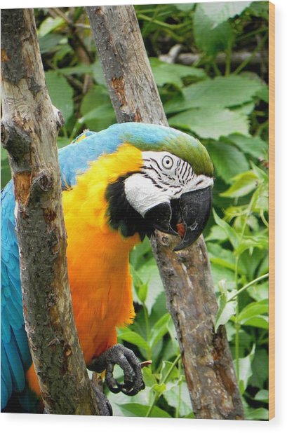 Macaw Wood Print by Michael Caron