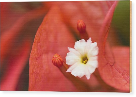 Macro Bougainvillea Bloom 1 Wood Print