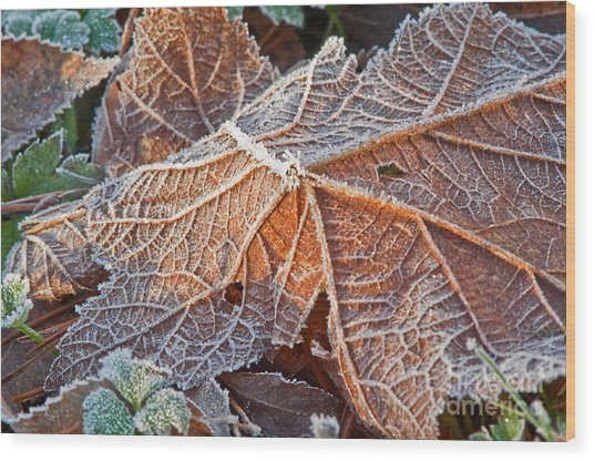 Macro Nature Image Of Fallen Leaf With Frost Wood Print