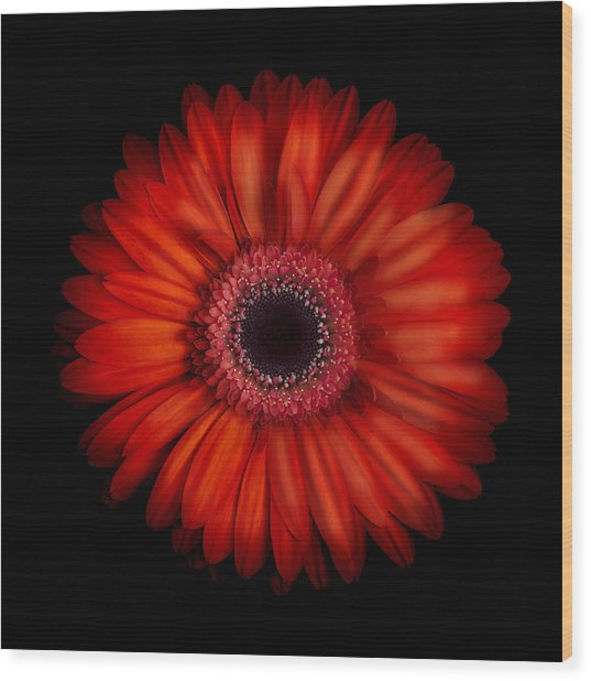 Macro Photograph Of An Red And Orange Gerbera Daisy Against A Black Background Wood Print