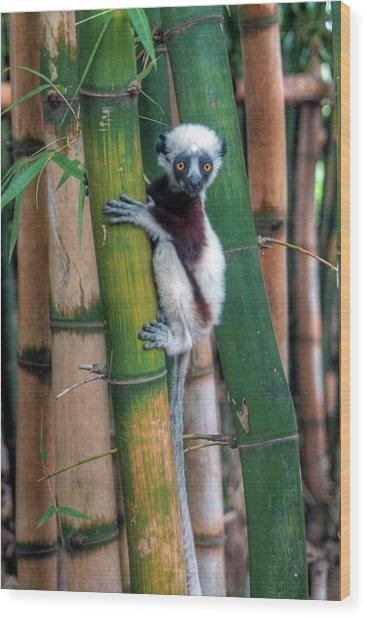 Madagascar Sifaka Baby Lemur Wood Print by Mariusz Kluzniak