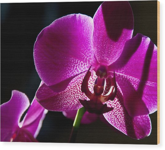 Magenta Orchid Wood Print