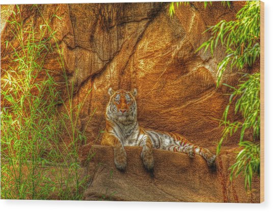 Magnificent Tiger Resting Wood Print