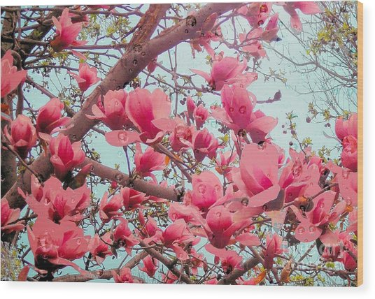 Magnolia Blossoms In Spring Wood Print