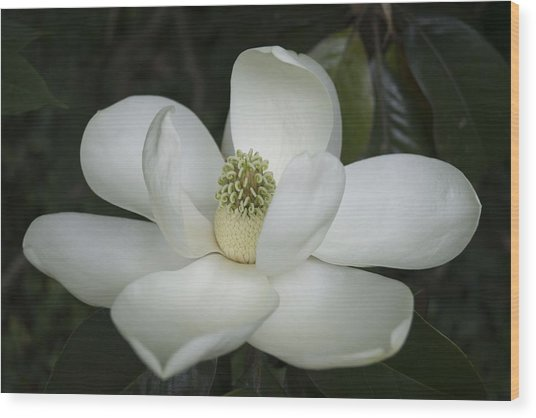Magnolia Grandiflora Blossom - Simply Beautiful Wood Print
