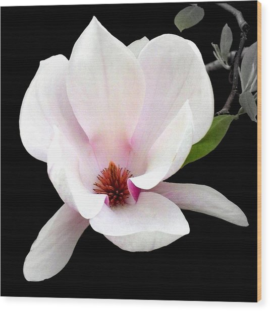 'magnolia In Bloom' Wood Print
