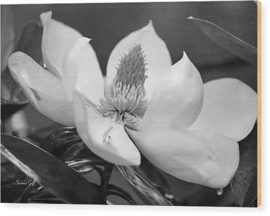 Magnolia In May - Black And White Wood Print