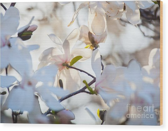 Magnolia Spring 3 Wood Print