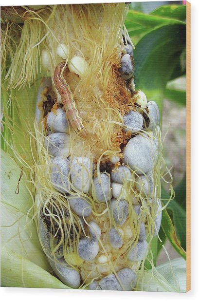 Maize Cob Infected With Corn Smut Wood Print by Eric Schmelz/us Department Of Agriculture