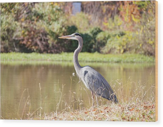 Majestic Great Blue Heron In Autumn Wood Print