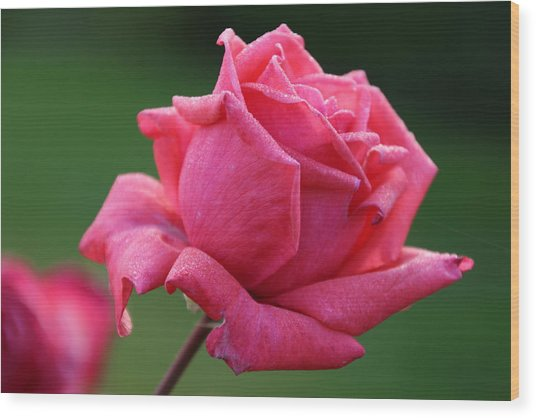 Majestic Rose Wood Print by Michael Williams