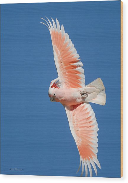 Major Mitchell's Cockatoo In Flight Wood Print