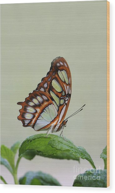 Malachite Butterfly #5 Wood Print