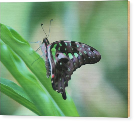 Malachite Butterfly Wood Print