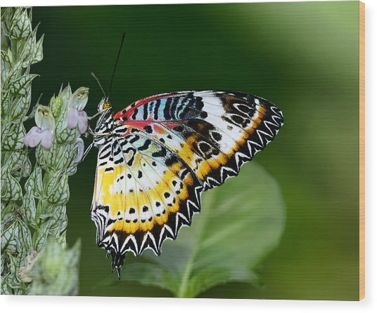Malay Lacewing Butterfly Wood Print