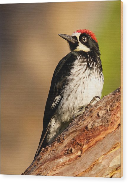 Male Acorn Woodpecker Wood Print