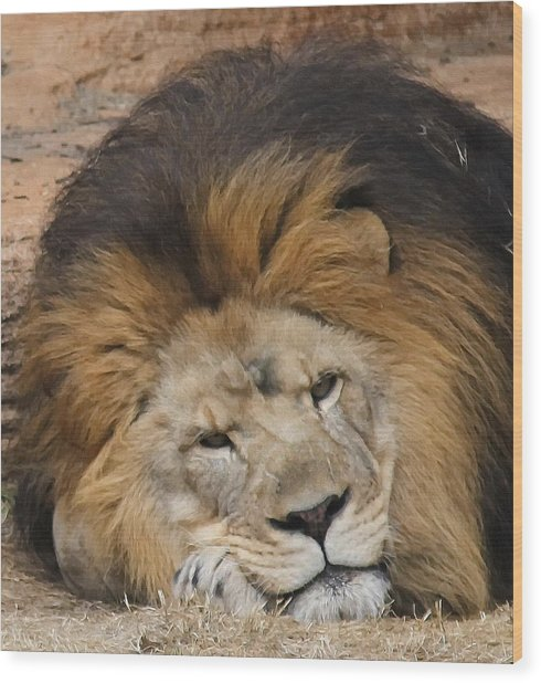 Male African Lion Wood Print