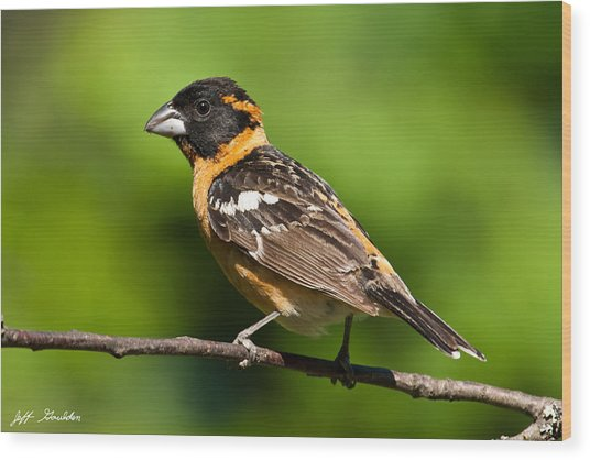 Male Black Headed Grosbeak In A Tree Wood Print