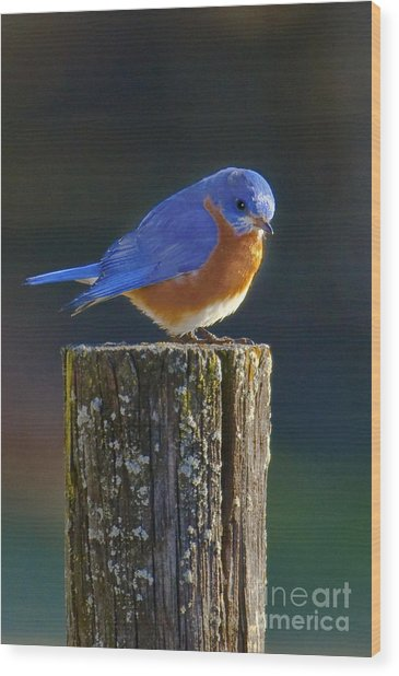 Male Bluebird Wood Print