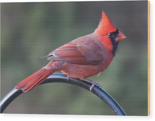 Male Cardinal Wood Print by John Kunze