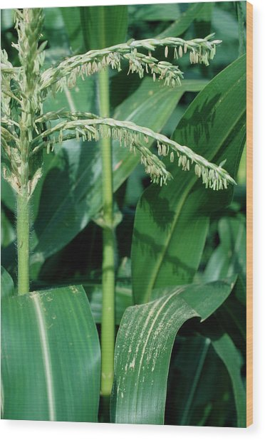 Male Flowers Of The Maize Plant Wood Print by Dr Jeremy Burgess/science Photo Library