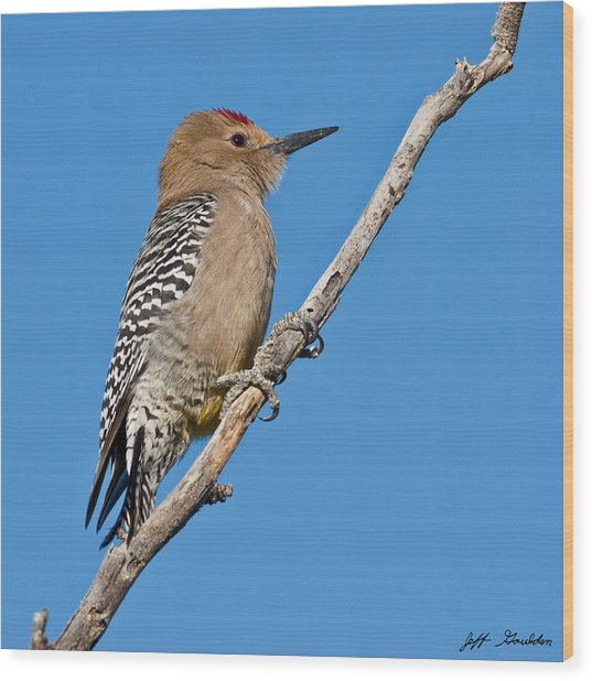 Male Gila Woodpecker Wood Print