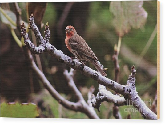 Male House Finch Wood Print
