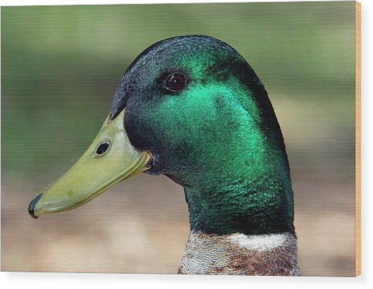 Male Mallard Duck Wood Print by Tony Camacho/science Photo Library