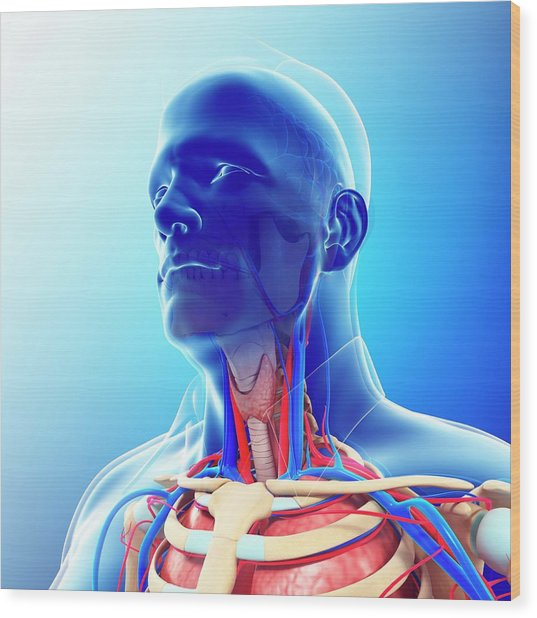 Male Neck Blood Vessels Wood Print by Pixologicstudio/science Photo Library