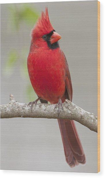 Male Northern Cardinal In January Wood Print