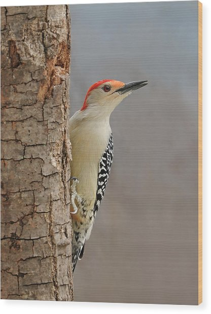 Male Redbellied Woodpecker 1 Wood Print