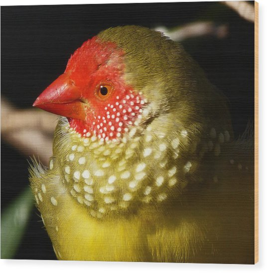 Male Star Finch Wood Print