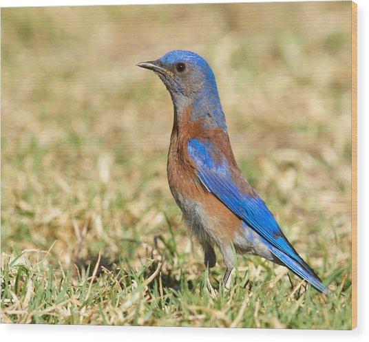 Male Western Bluebird Wood Print