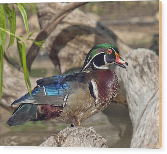 Male Wood Duck Dwf029 Wood Print