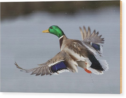Mallard Drake Taking Flight Wood Print by Ken Archer