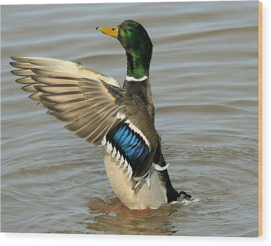 Mallard Drake Wings Wood Print