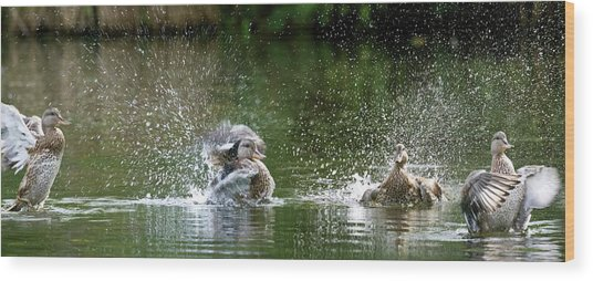 Mallard Ducks Wood Print by Steve Allen/science Photo Library