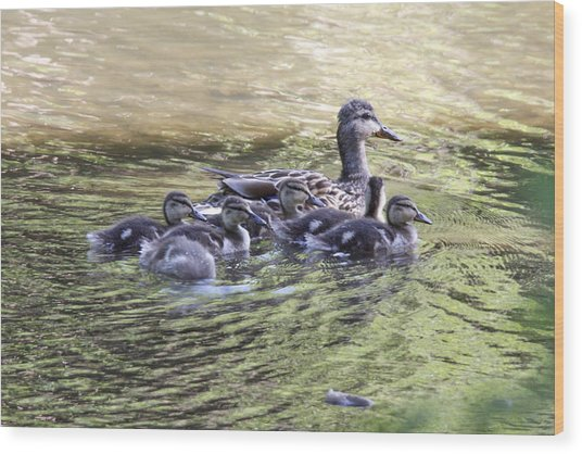 Mallard Family On Green Water Wood Print