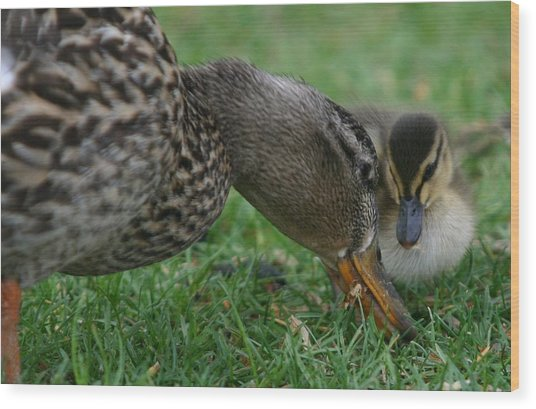 Mallard Hen And Duckling Wood Print