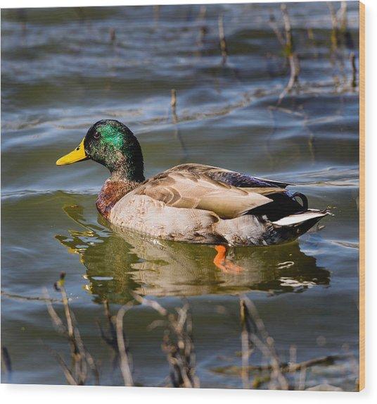 Mallard In Pond Wood Print