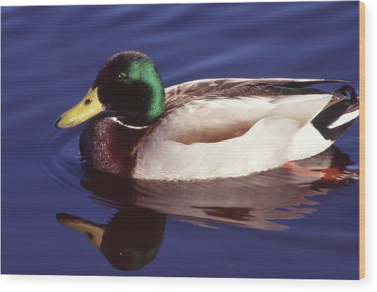 Mallard In The Mirror Wood Print