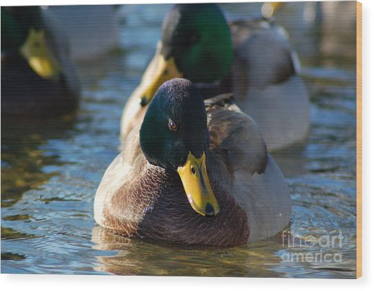 Mallard In The Morning Sun Wood Print
