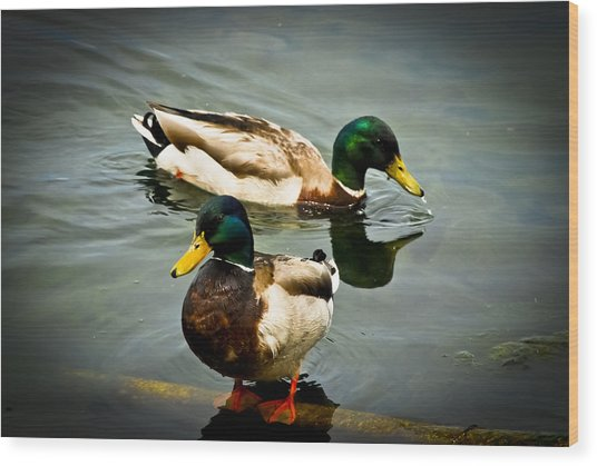 Mallards On Mendota Wood Print