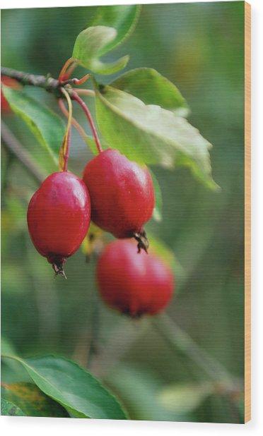 Malus X Schiedeckeri 'red Jade' Wood Print