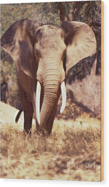 Wood Print featuring the photograph Mana Pools Elephant by Jeremy Hayden